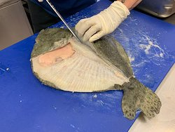 Nous cuisinons du poisson frais : le Turbot