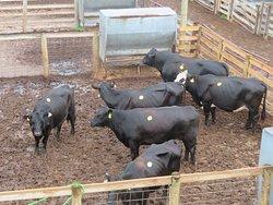 Cows in their enclosures