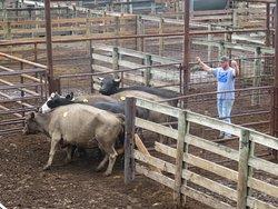 Herding the cows