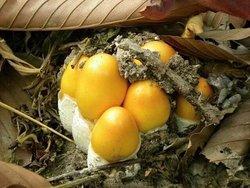 Northeast  Cambodia  Tours: Picock mushroom photo