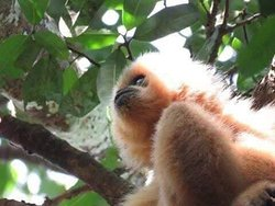 Northeast  Cambodia  Tours: Gibbon watching in Veun Sai conservation  area