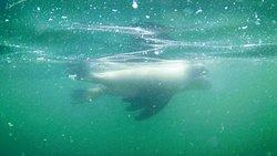 lobos debajo del mar en isla palomino