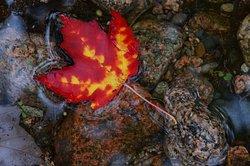 All fall leaf floating in the water below the boardwalk