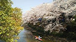 横浜散策で立ち寄り。 大岡川沿いに桜が咲く季節は、桜まつりも開催されており、賑わっています。 川沿いをのんびり散策がお薦めです。 弘明寺を起点に、井土ヶ谷、南太田くらいまでなら、普通に歩けますが、気合を入れれば、その先までも行けるでしょう。