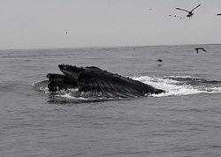 Two humpbacks surfacing