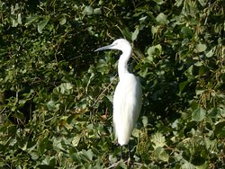 Little Egret in the trees by the lake