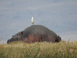 One of the hippos in Ngorongoro