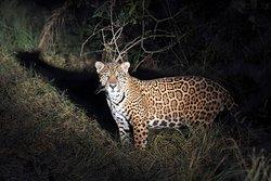 Jatobazinho, a young male Jaguar