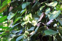Плантация специй Тропикал (Tropical Spice Plantation)