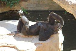 Ooh my head hurts, a chimp in Bioparc