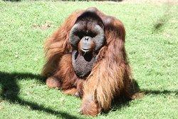 An Orang Utan enjoys the sun