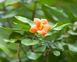 The Rodrigues Hibiscus, endemic.