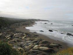 Zeeolifanten bij het Piedras Blancas State Marine Reserve