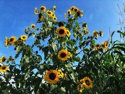 Sunflower field behind the corm maze