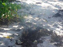The iguana we saw!