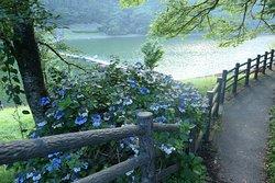 留浦浮橋に向かう道にキレイなアジサイが咲いてました。