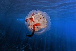 Amazing and rare Jellyfish