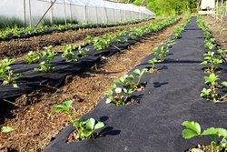 Выращиваем органическую клубнику.