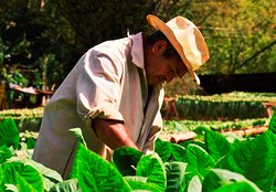 """""""Viñales is a great place for good pictures!!!. A cuban farmer working into the tobacco field!!!"""""""