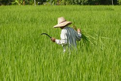 Tending the ricefields surrounding Sanjana