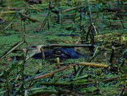 One of the many gators we saw on the trip. Guess the company isn't called Gator Bait for nothing!
