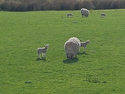 Day old lambs