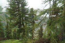 Pines trees all around