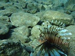 Крылатки - типичные обитатели Кораллового берега в Эйлате