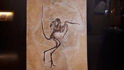 Archaeopteryx, det størst fundne eksemplar