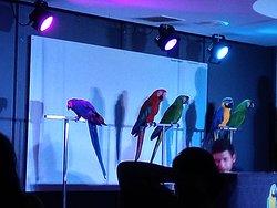 Show papagaios