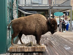 The only bison I saw in the area (outside a shop near Jackson Town Square)
