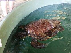 Une tortue blessée parmi d'autres