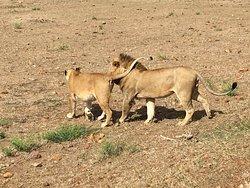 Masai Mara Safari (2 nights/3 days)