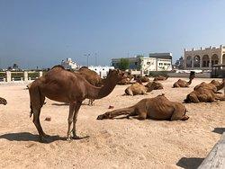 Kamele beim Souq Waqif