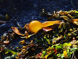 Bull Kelp, Rock Weed and Sea Grass blanket the shoreline after a summer storm.