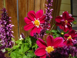 Happy dahlias in the summer garden on the east facing deck.