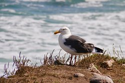 Pebble Beach 17 Mile drive....seagull