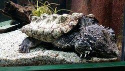A sleepy turtle