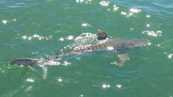 Beautiful Tiger Shark caught and released