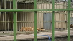 A female lion sleeping