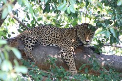 This Jaguar was the star of a recent BBC documentary, Brazil's Super Cats.