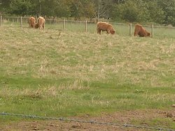 The famous Hairy Coos (Aka cows) in front of lock Ness by Jacobite tours