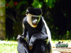 A Colobus with lipstick! Not so! He has been chewing Rondo's brick paths - hence the reddish mouth!