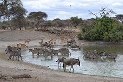 zebra's, gnoes, impalas