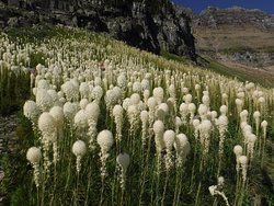 The wet year (2019) brought and abundance of bear grass - natures fireworks.  Very surreal.