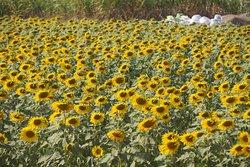 Sunflowers between Bangkok and Khao Yai