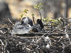 black eagle in nest  that we tracked