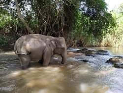 Did you know? Elephants tend to stay near water sources but they can smell water from five kilometres away. These animals drink water by using their long trunks, and an adult elephant can drink about 200 litres of water per day, which can sometimes be drunk during a single visit to a water source. #chiangmaielephanthome⁠ ⁠ 🐘💚 By joining our one day program the visitors will have more time to observe the elephants throughout the day while feeding them, walking with them in beautiful area.