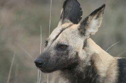 African Wilddog!