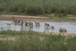 Big pride of lions crossing the Sabie river close to Lower Sabie camp! What a spectacular sight!